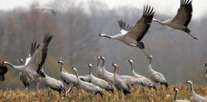 le lac du Der refuge des oiseaux